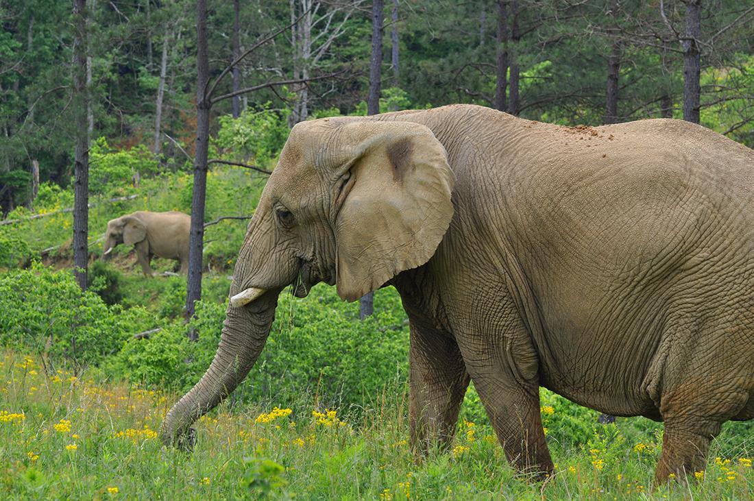 good grit magazine tennessee u0027s elephant sanctuary