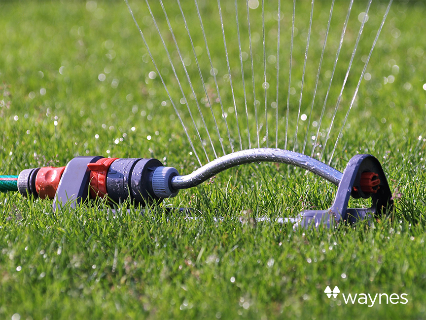 Sprinkler attached to hose pipe watering lawn